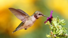 Captivating-hummingbird-500x325-plain
